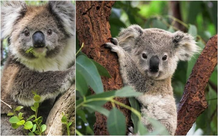donde viven los koalas