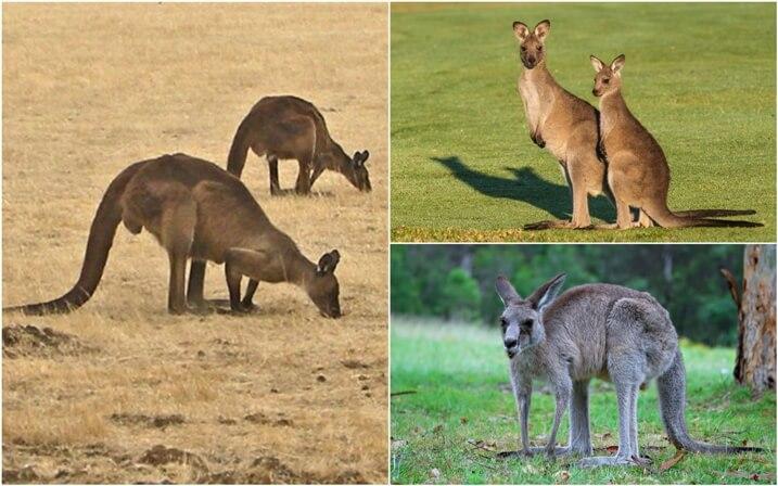 donde viven los canguros