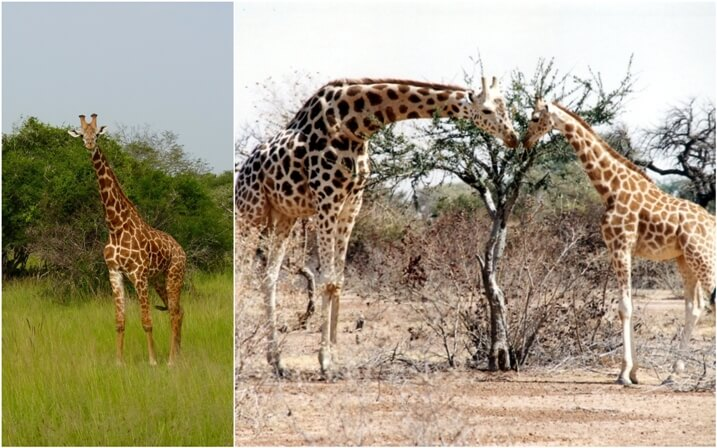 hábitat de la jirafa