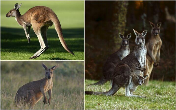 hábitat de los canguros