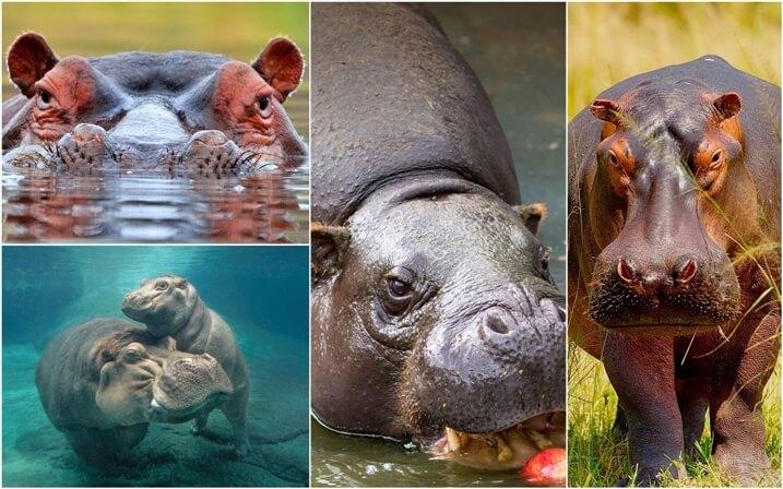 habitat hipopotamos